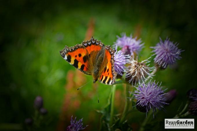 Butterflies01