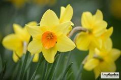 Daffodils01