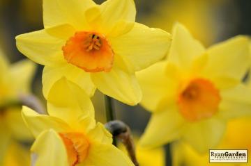 Daffodils02