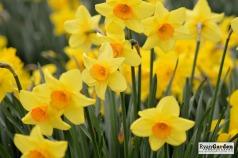 Daffodils03