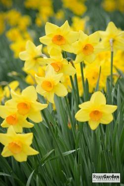 Daffodils04
