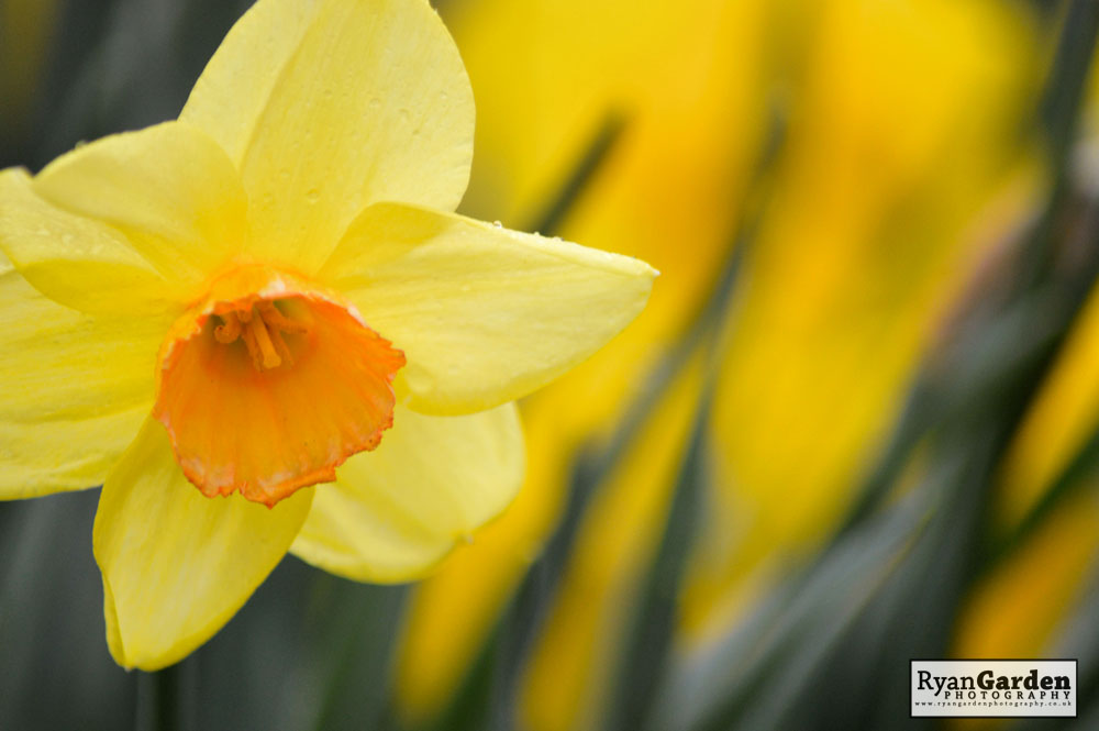 First Daffodils of Spring