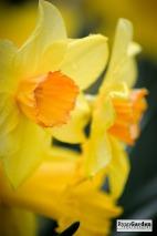 Daffodils06