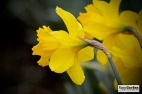 Daffodils07