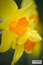 Daffodils08