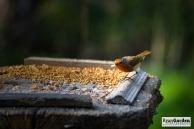 Robin03