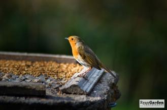 Robin05
