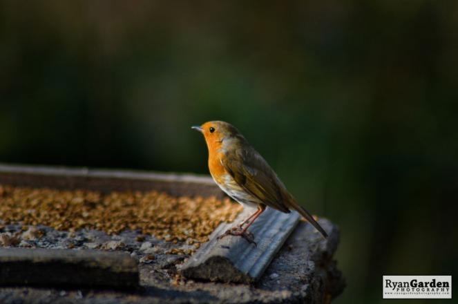 Robin06