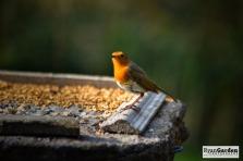 Robin07