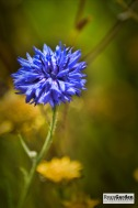 Wildflowers05