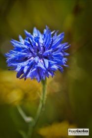 Wildflowers06