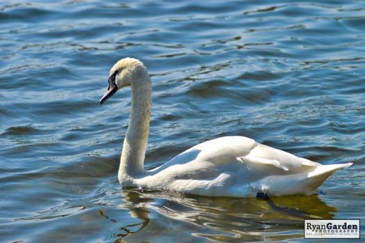 Swans01