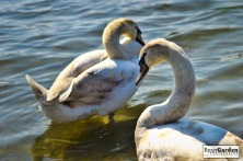 Swans04