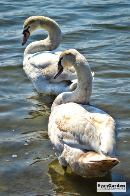Swans05