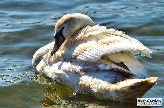 Swans06
