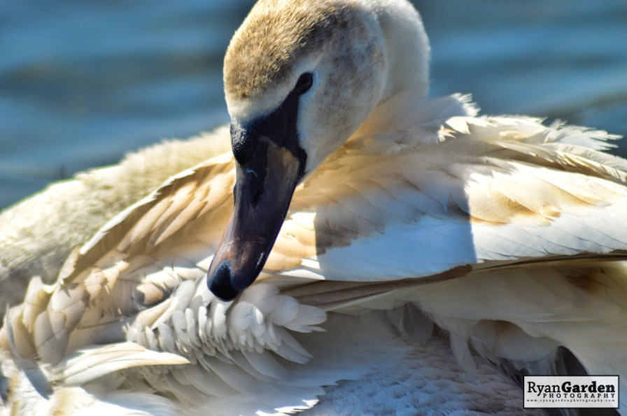 Swans07
