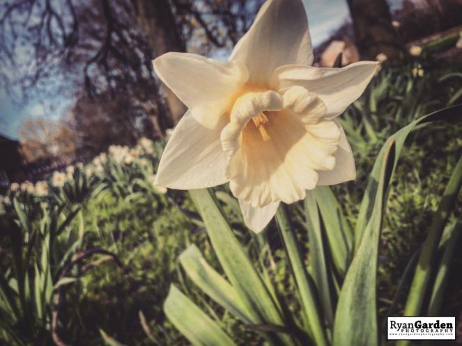 SpringDaffodils01