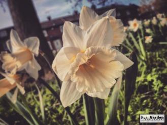SpringDaffodils02