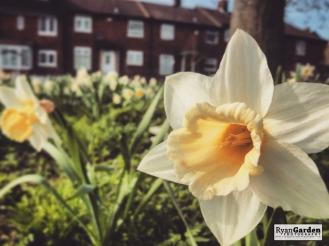 SpringDaffodils03