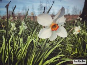 SpringDaffodils04