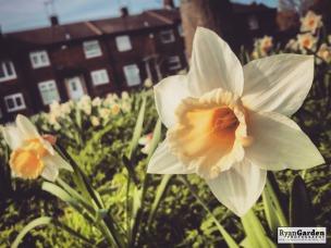 SpringDaffodils05
