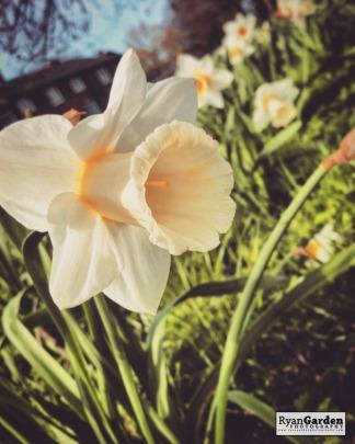 SpringDaffodils06