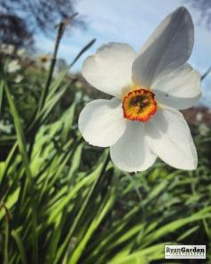 SpringDaffodils07