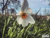 SpringDaffodils08
