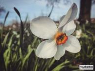 SpringDaffodils09