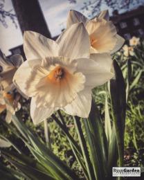 SpringDaffodils10