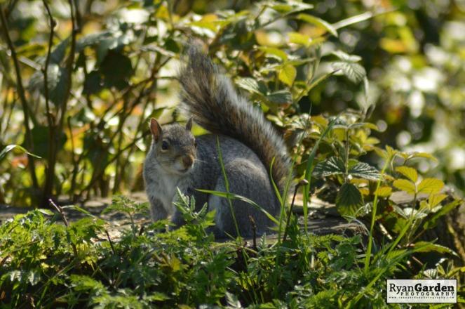 WoodlandSquirrel01