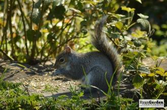 WoodlandSquirrel02