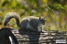 WoodlandSquirrel03