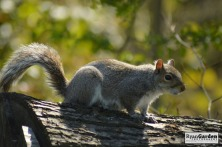 WoodlandSquirrel04