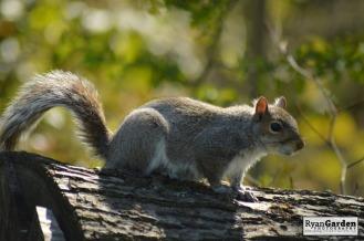 WoodlandSquirrel04