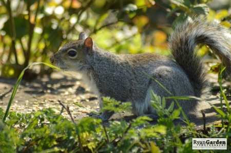 WoodlandSquirrel06