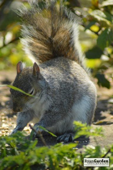 WoodlandSquirrel10