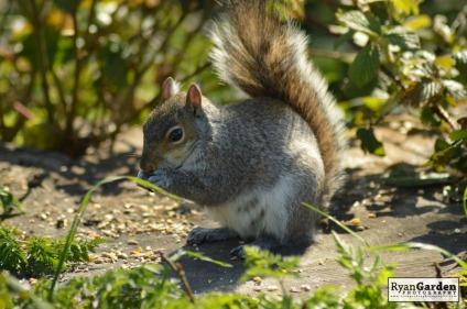 WoodlandSquirrel12