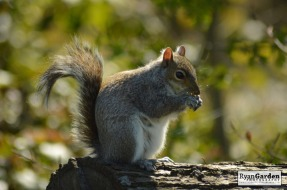 WoodlandSquirrel13