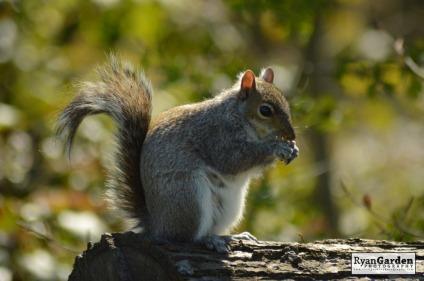 WoodlandSquirrel13