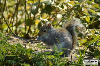 WoodlandSquirrel14