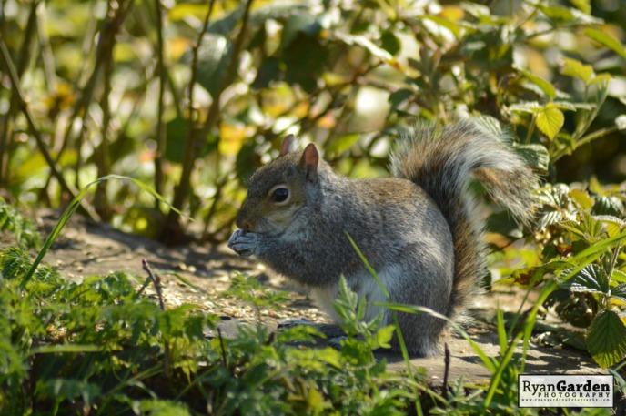 WoodlandSquirrel14