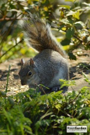 WoodlandSquirrel15